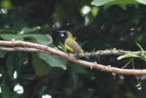 Burung Madu Sriganti 11