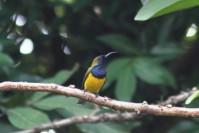 Burung Madu Sriganti 3