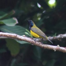 Burung Madu Sriganti 4