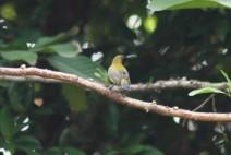 Burung Madu Sriganti 9