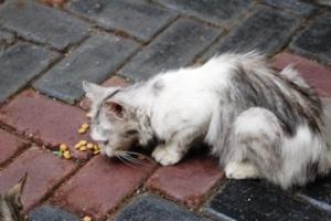 Kucing Anonimous