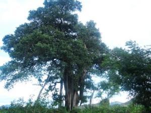 Pohon Banyan