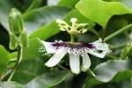 Bunga Markisa 1
