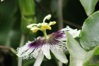Bunga Markisa 3