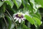 Bunga Markisa