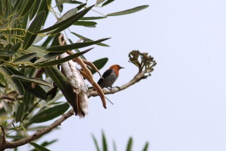 Burung Cabe 1