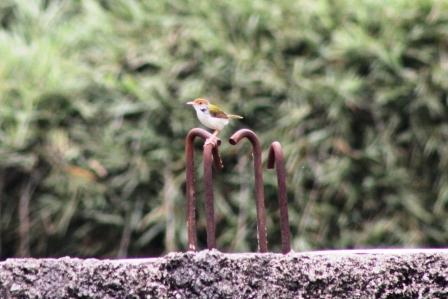 Burung Cinenen