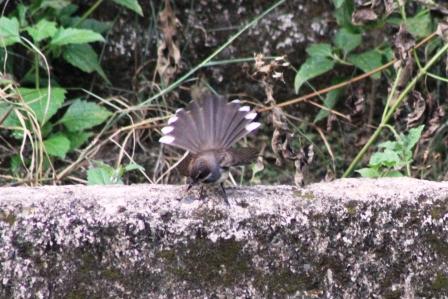 Burung Kipasan 10