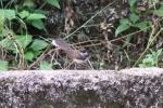 Burung Kipasan 11