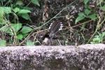 Burung Kipasan 1
