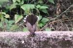 Burung Kipasan 15