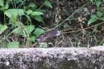 Burung Kipasan 2