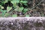 Burung Kipasan 3