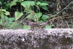 Burung Kipasan 4
