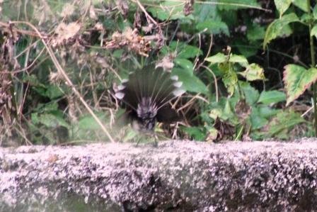 Burung Kipasan 6