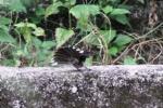 Burung Kipasan 7