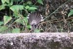 Burung Kipasan 8