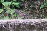 Burung Kipasan 9