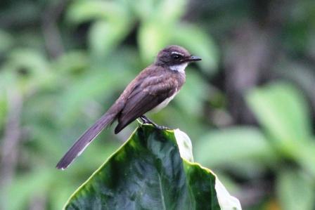 Burung Kipasan