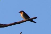 Burung Layang-Layang 1