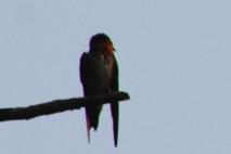 Burung Layang-Layang 4