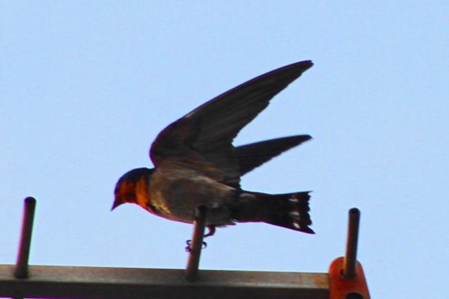 Burung Layang-Layang Batu 7