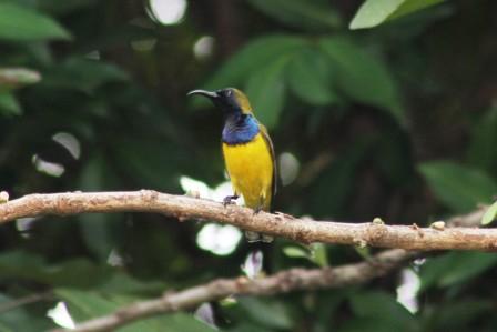 Burung Madu Sriganti