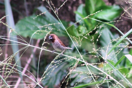 Burung Peking