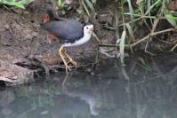 Burung Terkwak 6