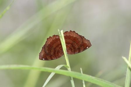 Kupu-kupu Ariadne ariadne