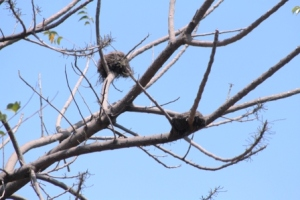 Sarang Burung