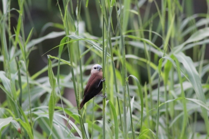 Bondol Haji, White Headed Munia 1
