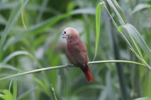 Bondol Haji, White Headed Munia 9