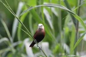 Bondol Haji, White Headed Munia
