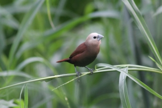 Bondol Haji, White Headed Munia10