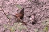Burung Kipasan - Kedasih b