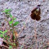 Burung Kipasan - Kedasih e