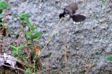 Burung Kipasan - Kedasih h
