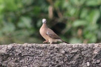 Burung Perkutut 5