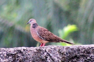 Burung Tekukur 1