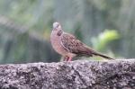 Burung Tekukur 2