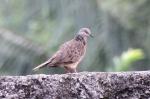 Burung Tekukur 3