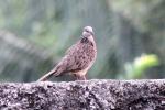 Burung Tekukur 4
