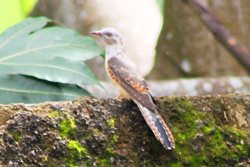 Burung Kedasih Dan Nyanyiannya Nimadesriandani