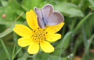 Kupu Kupu Kecil Biru -Common Little Blue Butterfly1
