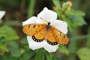 Kupu Kupu Teluk -Agraulis vanillae