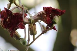 Bunga Kigelia Pinnata 1
