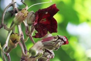 Bunga Kigelia Pinnata