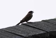 Burung Gereja 1