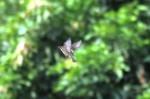 Burung Gereja 10